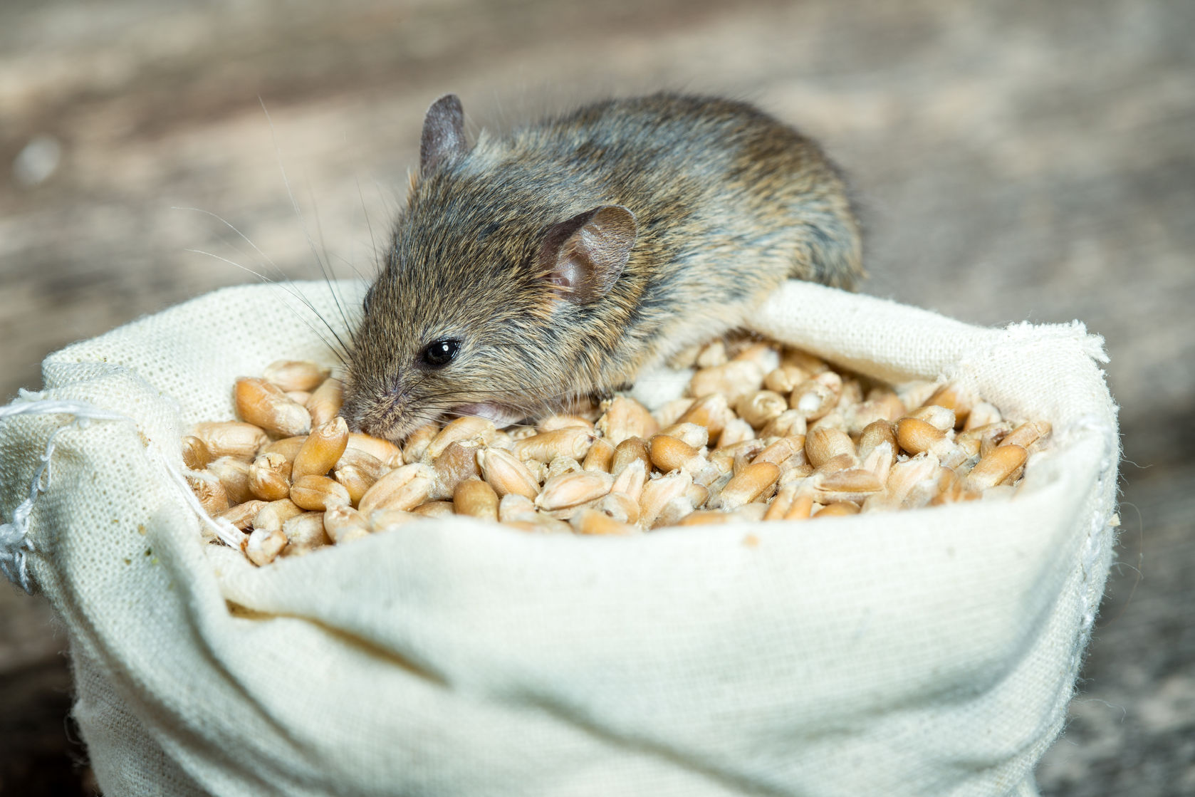 'There is no getting away from it,' the mice plague riddles Dubbo