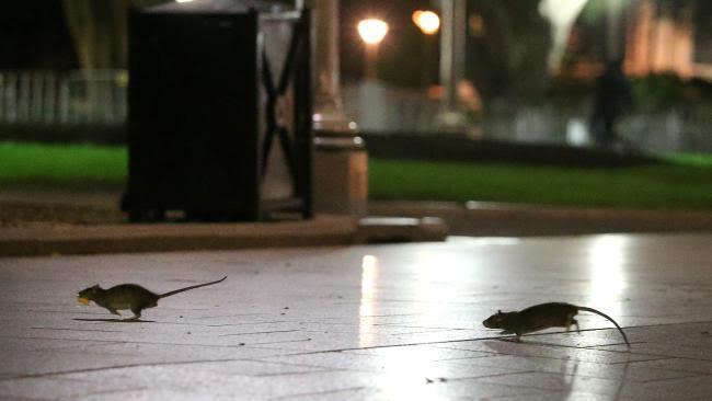 Rat Plague In Sydney CBD