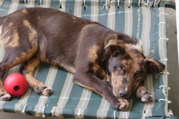 Article image for Pet of the week: Brittany