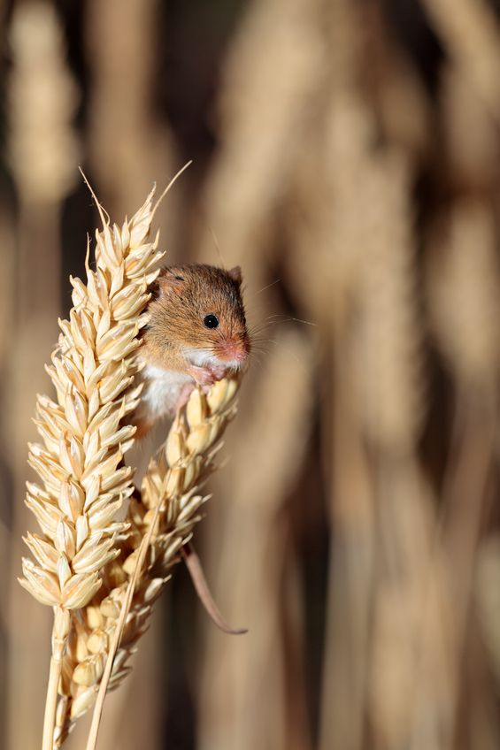 Mice numbers in decline, but growers urged to take caution