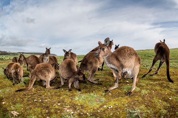 Article image for Millions of kangaroos dying from mysterious illness