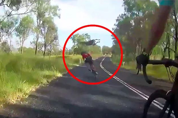 Cyclist slammed into by rogue kangaroo