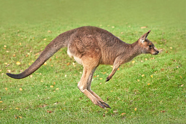 Article image for Animal experts want to cull kangaroos
