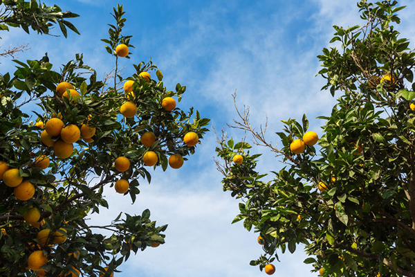 Article image for Fruit giant SPC to expand into China's $1.2 billion market