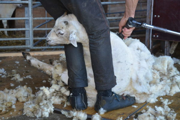 Booming wool industry, but not enough sheep shearers