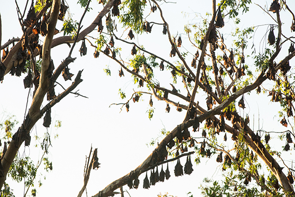 Flying foxes destroying east coast of Australia
