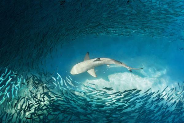 Fish farm breach causes disastrous shark frenzy