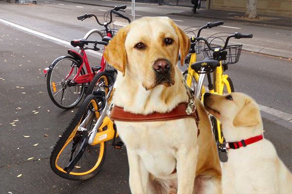 Article image for Share bikes confusing guide dogs, putting blind people at risk