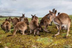 Video shows Greens are lying about kangaroo extinction