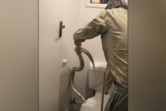 WATCH | Snake catcher retrieves grumpy carpet python from toilet