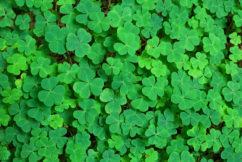 Sydney set for a 'greening' on St Patrick's Day