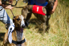 Commission to eliminate 'grubs' and revive greyhound industry