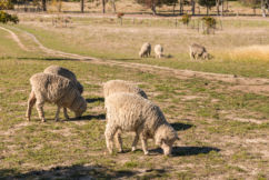 Sheep producers seek live export answers