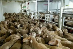 Export ship with 65,000 sheep blocked from going to Middle East