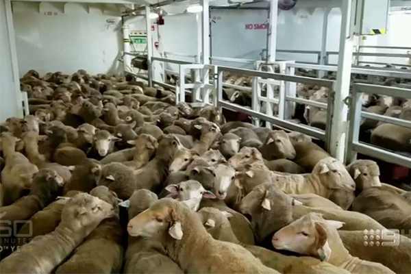 Article image for Export ship with 65,000 sheep blocked from going to Middle East