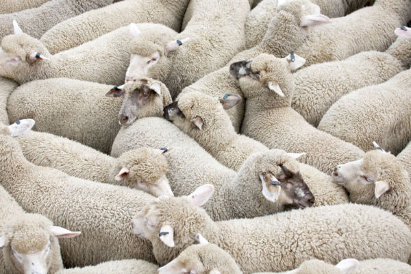 Live sheep trade to the Middle East put on three-month ban