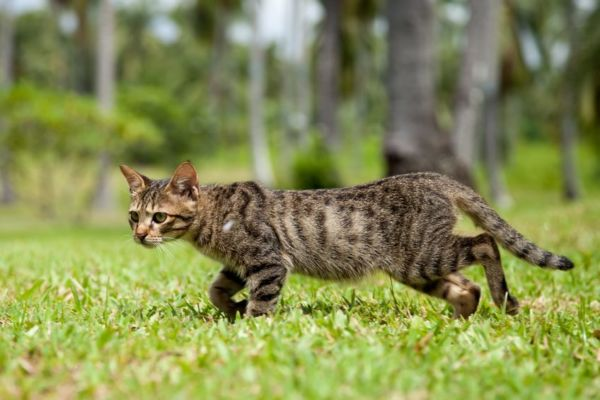 Article image for $1 million push to eradicate feral cats could save native Aussie animals
