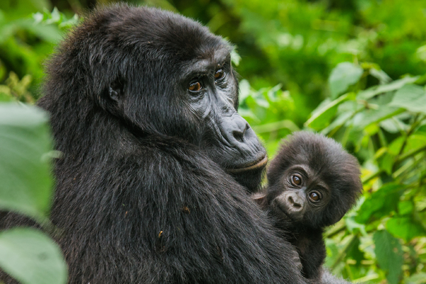 Up close and personal with gorillas
