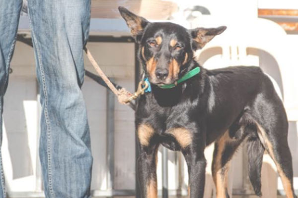 Article image for Aussie dog smashes the record as world's most expensive kelpie