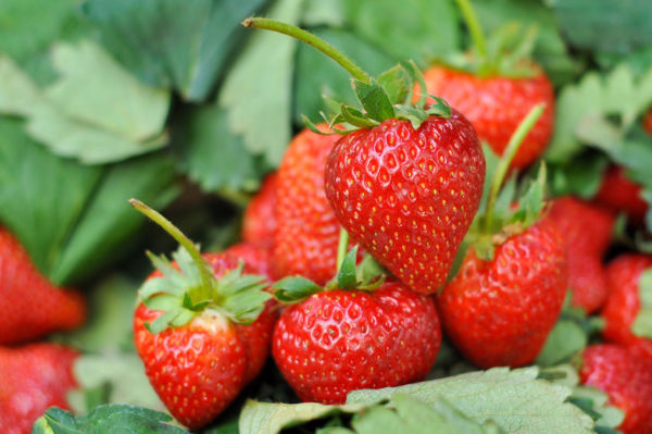 Article image for 'Cut them up, but don't cut out the farmer': Standing by our strawberry farmers