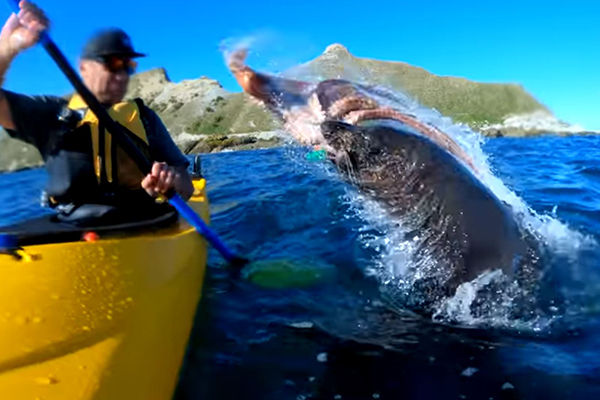 Article image for Ruthless seal slaps kayaker in the face with an octopus