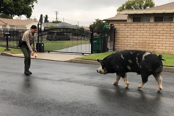 WATCH | Police round up giant runaway pig using Doritos