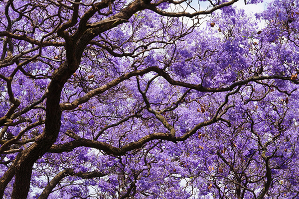 Article image for This council has an 'absolutely ridiculous' plan to cutjacaranda trees
