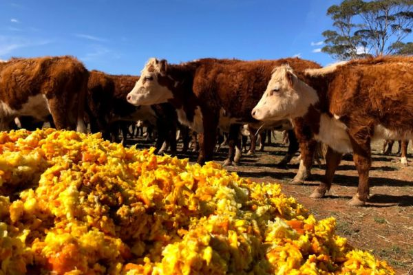 Orange-Cows-Forbes