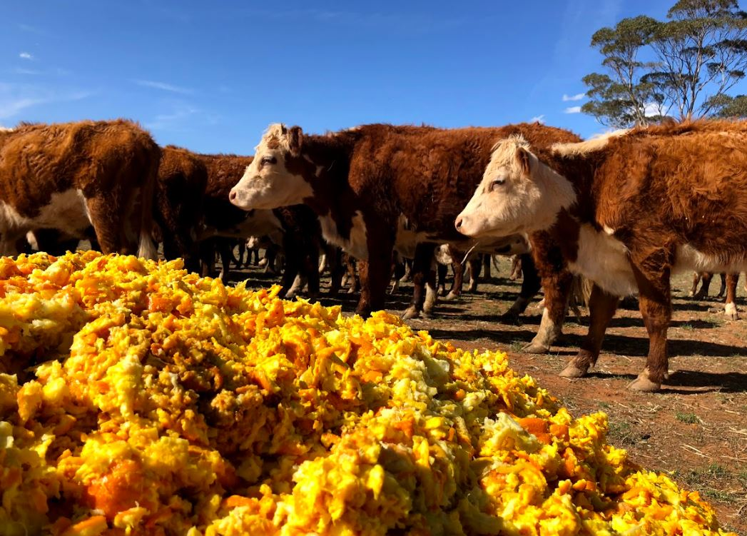 Orange-Cows-Forbes