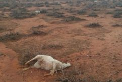 Farmer finds hundreds of dead kangaroos, cows and goats following weather anomaly