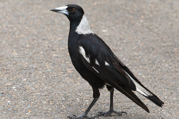 Article image for Cyclist dies trying to avoid swooping magpie