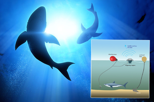 Article image for Shark nets or SMART drumlines, what's more effective?