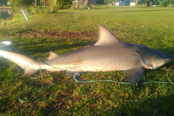 Fisherman almost capsizes reeling in ferocious bull shark