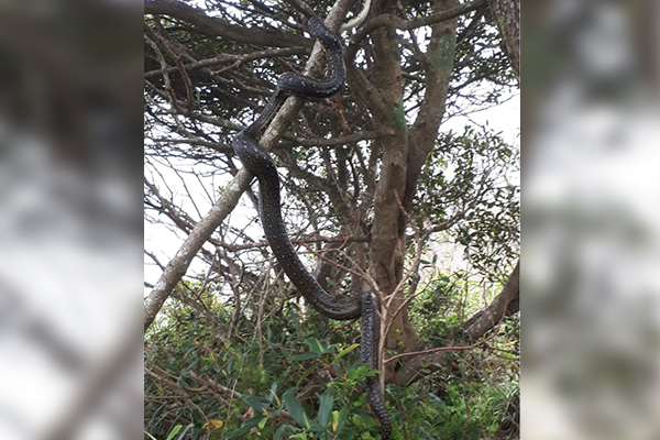 This stuff of nightmares: HUGE snake spotted on busy Sydney beach