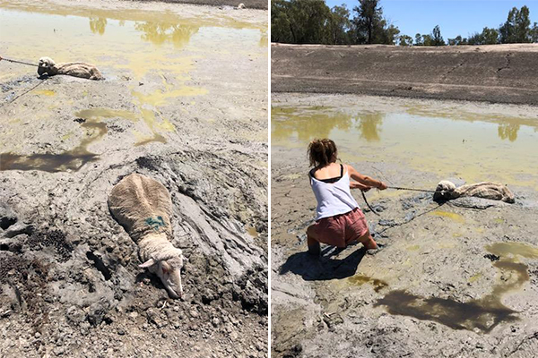 Farmer's heartbreaking drought photos of daughter trying to save sheep