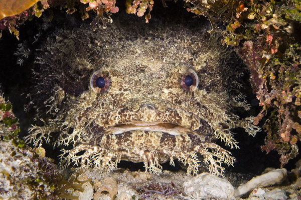 A toadfish could be responsible for viscous 'shark' attack