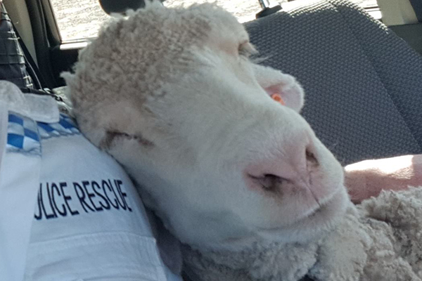 Cop's sheep selfie goes viral: 'She was a bit sheepish at first'