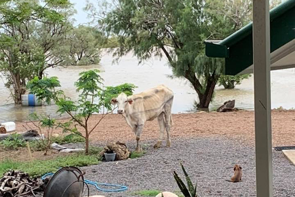 Queensland floods & livestock losses