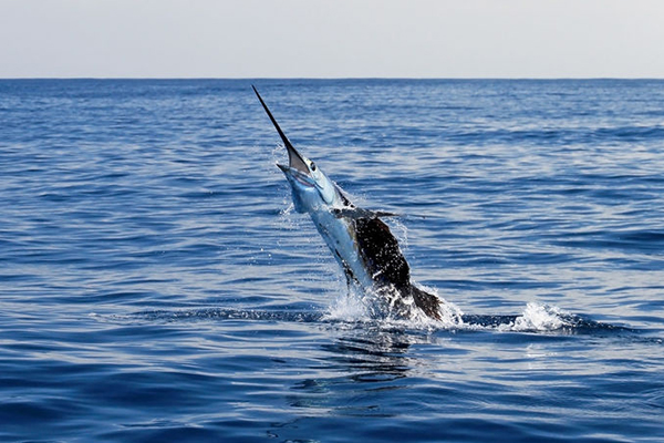 Two brothers speared in freak marlin accident