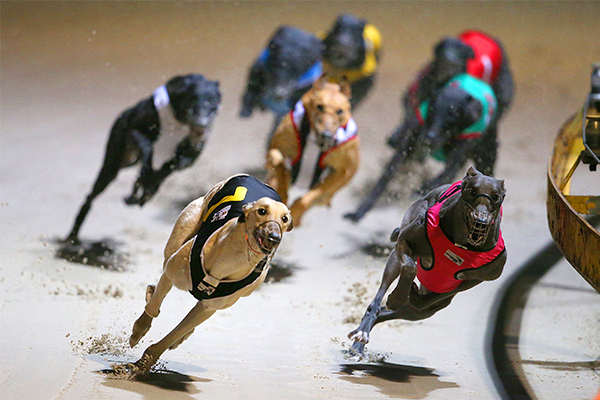 Article image for Greyhound Racing NSW announces record prize money increase
