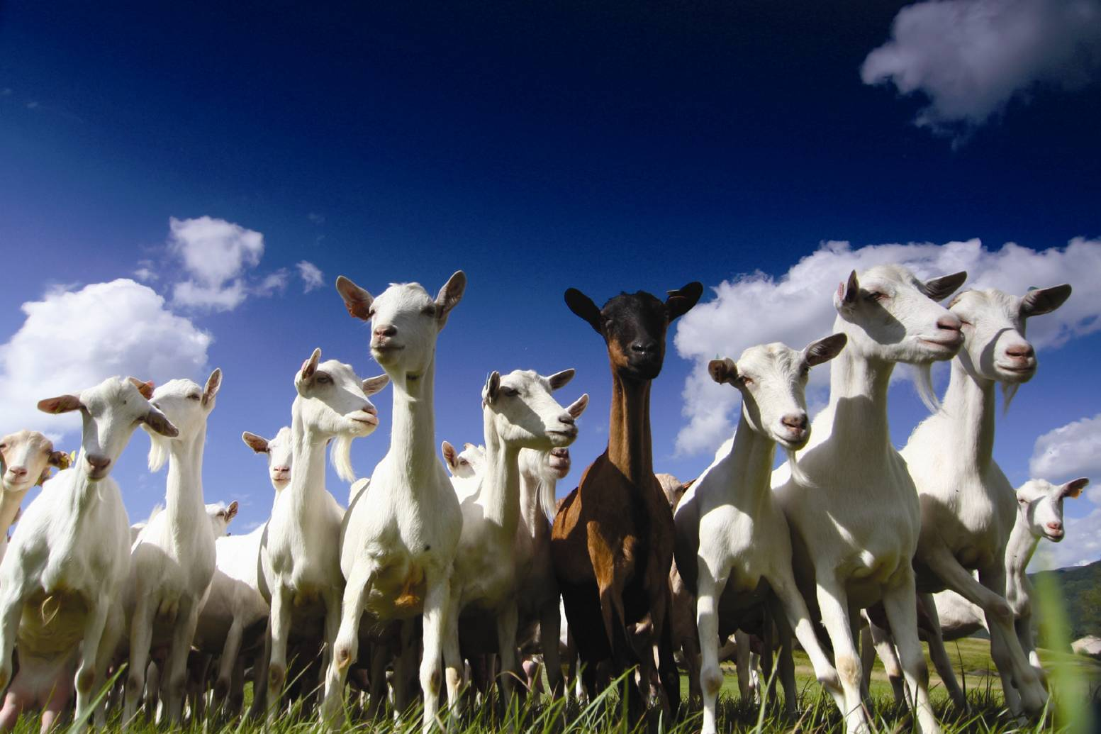 Fighting fires with… goats?