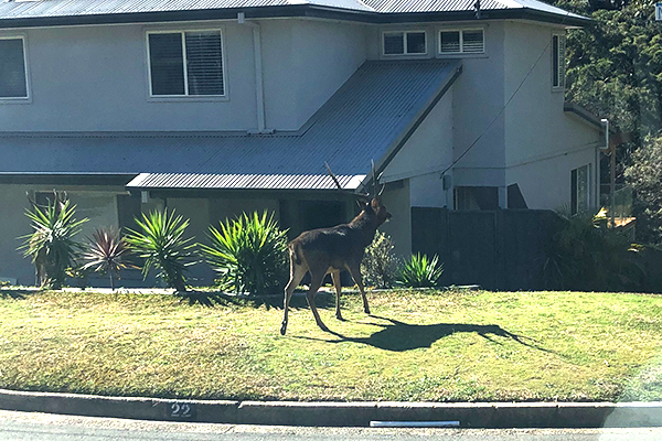 Deer spotted roaming Sydney's suburban streets