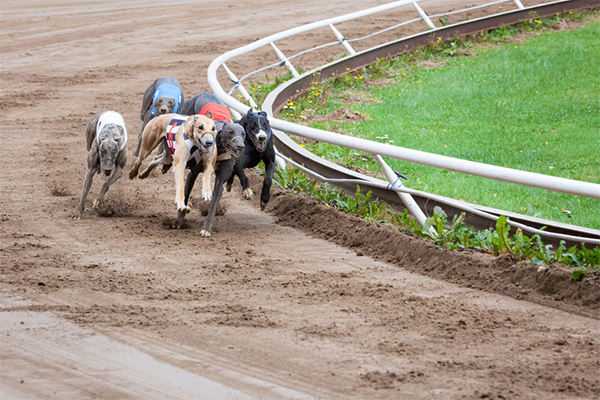 Article image for Greyhound industry being 'policed out of existence'