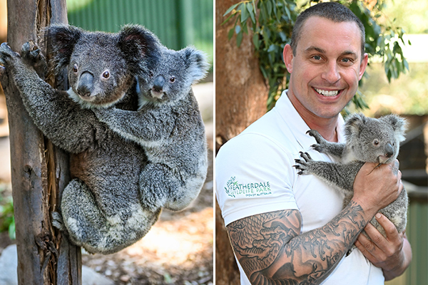 Article image for Koala With A Cause: Featherdale Wildlife Park celebrates new koala joey