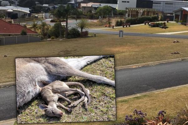Australian Police Seek Culprit For Hit-And-Run Killings Of Up To 20 Kangaroos