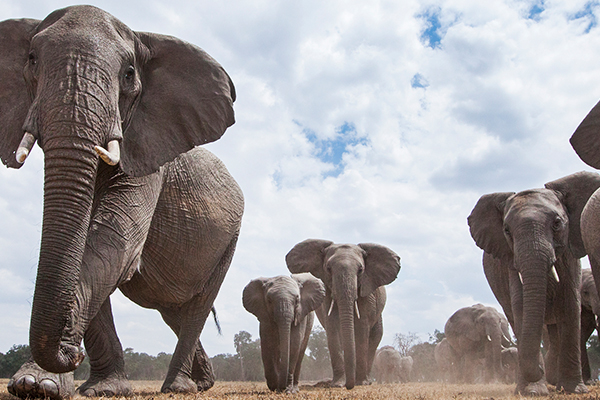 Australian tourist killed by elephant in Africa