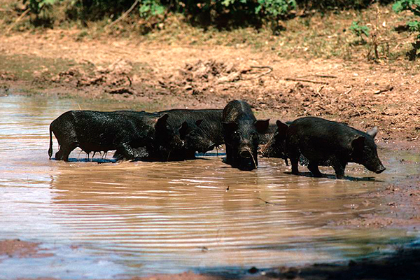 Article image for Calls for feral pig bounty as fears of African swine fever grips industry