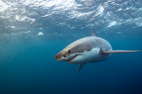 QLD tourism industry calls for greater shark control