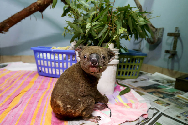 'They'll get through this': Koala's perishing in unprecedented bushfires