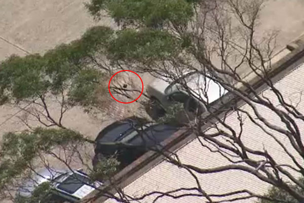 Article image for Firies swoop in to save magpie in tree